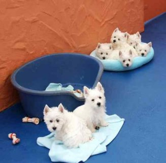 Curte and playful West Highland Terrier puppies Available