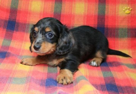 Dachshund puppies for Sale 111