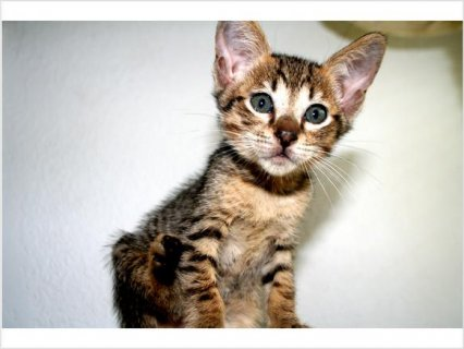 Beautiful Male Savannah  Kittens For Rehoming