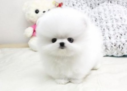 Cute and Adorable pomeranian  Puppies for Adoption