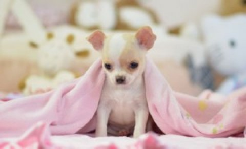صور Gorgeous Chihuahua Puppy Available 2