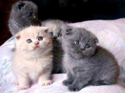 All Co lour Scottish Fold Kittens Kitten