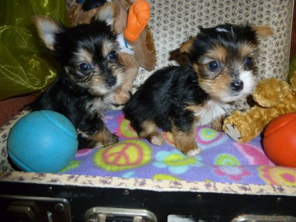 صور Top Quality Male and Female Yorkshire Terrier Pups 1