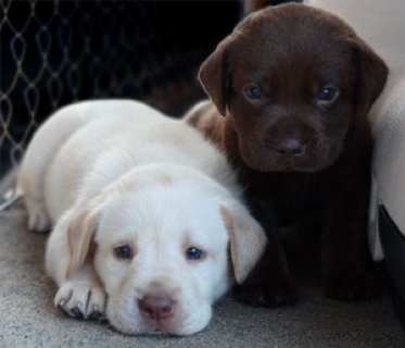 Labrador Retreiver Puppies