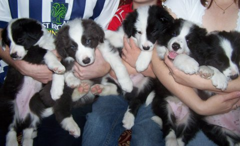 Male and female border collie puppies for adoption