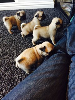 T-cup/ Small Toy pug Puppies