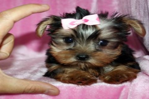 Fantastic Yorkshire Terrier Puppies