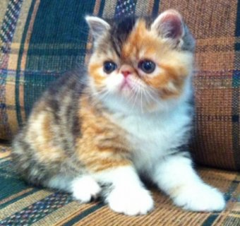 Exotic Shorthair Kittens Available