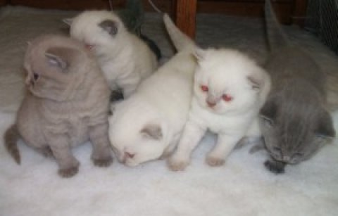 صور 2 Scottish Fold Kittens For Rehoming 1