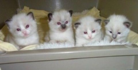 2 Ragdoll kittens New Years Addition to your family..