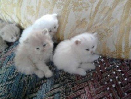 2 Toy Persian kittens ready for Xmas