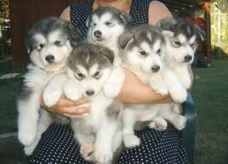 Cute AlaCute Alaskan Malamute Puppies