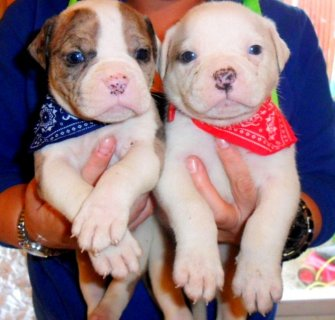 Chunky Solid Alapaha Bulldogs **** Blue Eyes ****For Sale