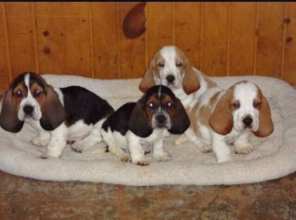 Basset Hound Pedigree Puppies For Sale