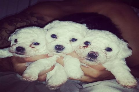 Pedigree Bichon Frise Puppies For Sale