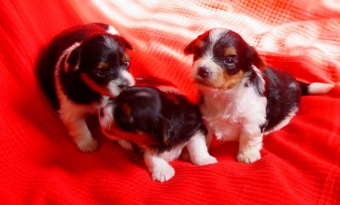 صور Biewer Terrier Puppies Girls And Boys Reay Now 1