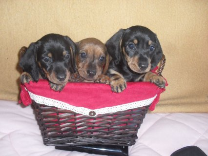 3 Dachshund Bitch Puppies Boy And Girl Ready Now