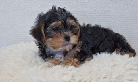 صور  Cute Cross Yorkie Maltischon Puppies Cross Maltischon For Re-ho 1