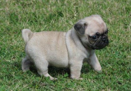 Pug Puppies Now Available