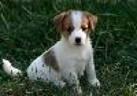 2 Playful Jack Russell Terrier Puppies Available