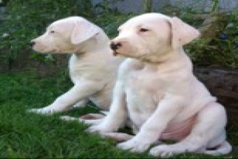 DOGO ARGENTINO PUPPIES FOR FREE ADOPTION