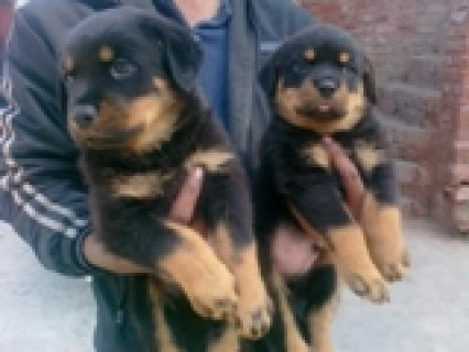 Rottweiler Pups Available Contact