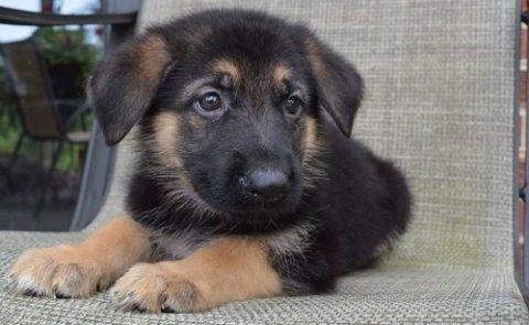 German Shepherd Puppies. Contact Me Directl
