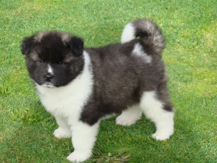 Akita Puppies  puppies for sale