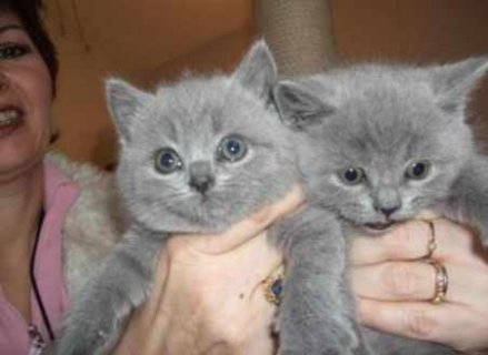 Cute British Blue Shorthair kittens for adoption