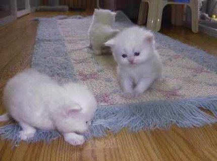 Friendly Lovely Teacup white Persian Kittens For Adoption