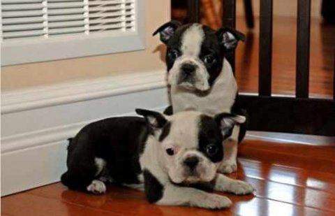 These BOSTON TERRIER PUPPIES are absolutely beautiful