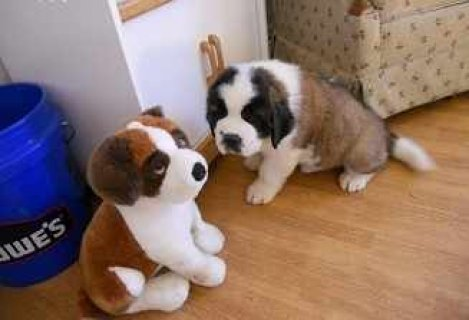 Cuties Saint Bernard Pupies For Adoptio