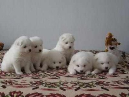GENERATION PEDIGREE UKC REGISTERED SAMOYED PUPPIES