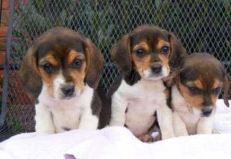 We have very cute Adorable Males and Females Beagle Puppies