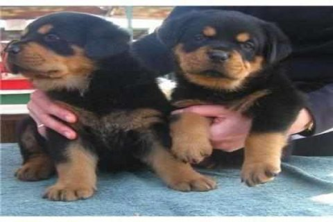two beautiful registered male and female Rottweiler