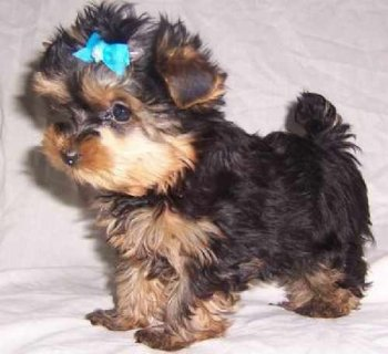 Tea Cup Yorkshire terriers puppies now available for new home