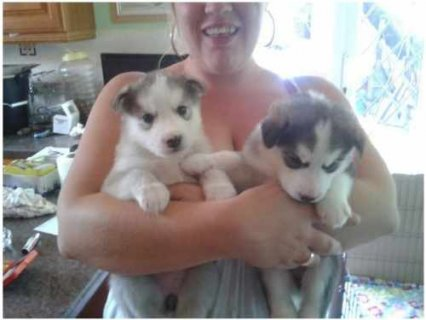 صور Adorable siberian Husky Puppies.. Huge Reluctant Sale 1