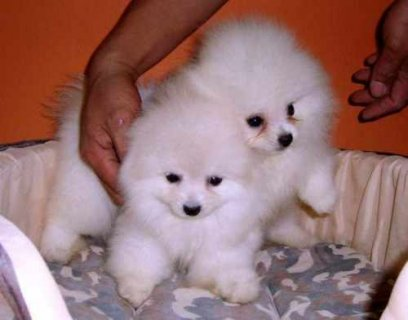 cute adorable pomeranian puppies ready for pet loving homes
