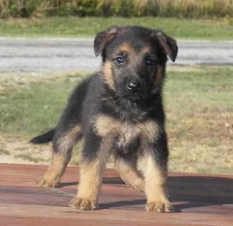 Beautiful german shepherd puppies for your family