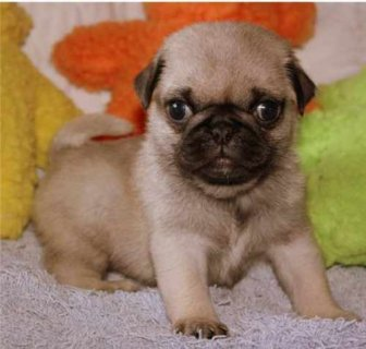 Adorable Registered Pug Puppies needs a home.