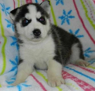 Cute male and female siberian puppy ready now for  Adoption