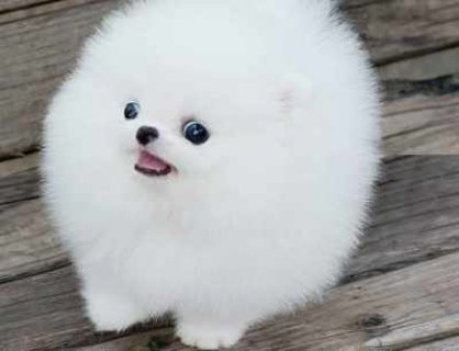 two Pomeranian puppies fro re homing
