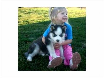 Beautiful and Angelic Siberian Husky Puppies Available