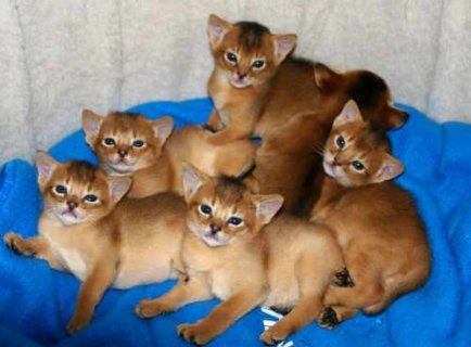 صور Registered Abyssinian kittens available for adoption 1
