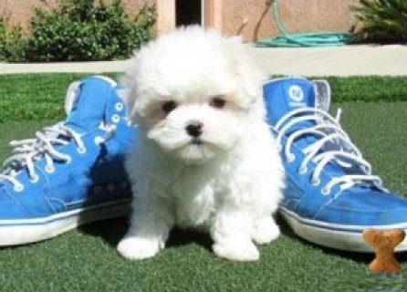 صور Outstanding Maltese Pup Available 1