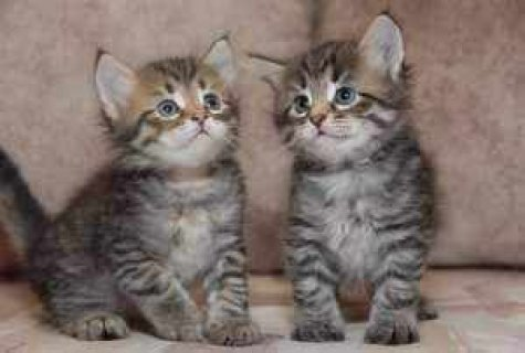 Charming Siberian Kittens For Adoption