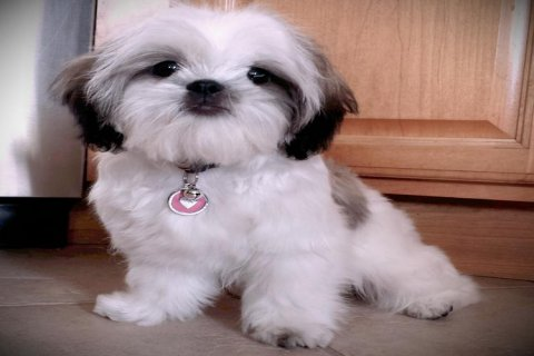 Adorable-Shih-Tzu-Puppy-For-Adoption