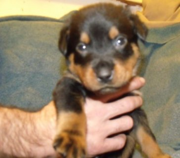 صور Stunning Pedigree Rottweiler Puppies for adoption 1