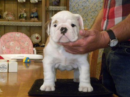 PUREBREED English Bulldog Puppies available for good homes