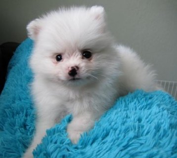 Lovely and outstanding Pomeranian Puppies for a good home
